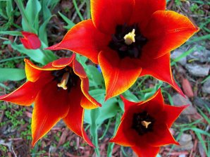 tulipssf