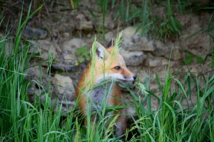 wild red fox by Spillvilleaci