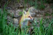 wild red fox by Spillvillesc