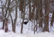 wild turkey-Marquette