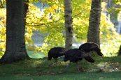 wild turkeys sf