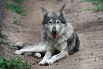 wolf sf