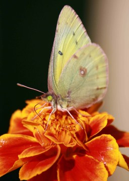 butterfly on marigold sf