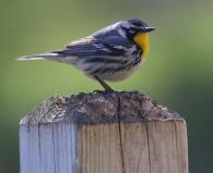 Yellow throated warbler uncommon in NE Iowa