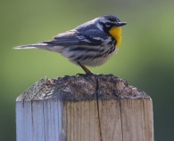 Yellow throated warbler uncommon in NE Iowa