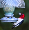 You can attract all kinds of birds at your feeder like this redheadedwoodpecker and makes the winter.