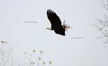 IMG_7963Decorah eagle bringing stick back to nest.jm