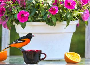 Male oriole eating grape jelly on our deck this spring-1jm
