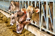Brown Swiss cows enjoying their food in the new 224 freestall barn