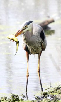 Great blue heron fishing on backwater of Mississippsfi