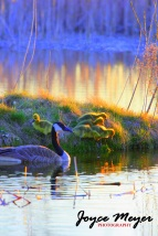 Canada goose with ducklings by Ridgeway