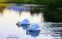 swans in farm pond