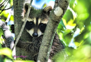 baby raccoon climbs tree as he hidesIMG_8394-1