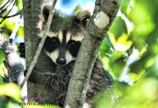 baby raccoon climbs tree as he hidesIMG_8394-1