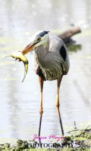 Great blue heron fishing on backwater of Mississippi