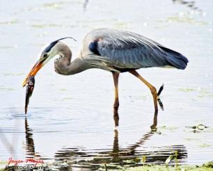 great blue heron fishingsf-1