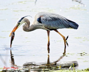 great blue heron fishingsf-1