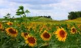 Organic Sunflower field by Decorahjm