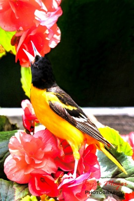 a male oriole singing on my flowers-spring is here!IMG_8228-1e-1