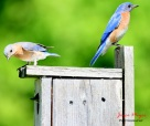 bluebird family, baby peeking out of nesting box. at my home