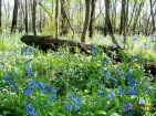 field of blue- spring bluebells