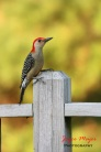 Male red bellied woodpecker (Spring)
