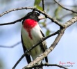 male rose-breasted grosbeak was the first bird to show up this spring