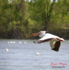 pelican in flight during spring migration REd Rock lake
