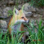 wild red fox in Winneshiek County
