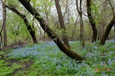 woods in bluebells