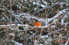 1 a robin early springIMG_5695-1