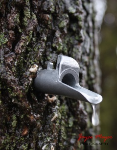 1 a sap running from tapped tree to make maple syrup