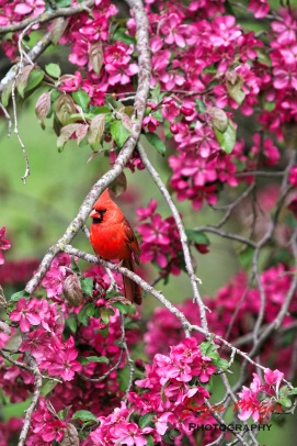 a male cardinal among my blossoms