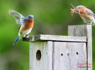 bluebird couple picked out their new house