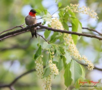 humming bird on spring branch