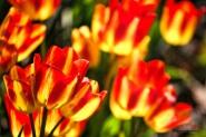 Pella tulips-1