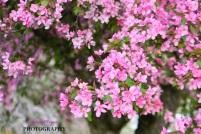 blossoms the fragant smell ummIMG_4845e-1