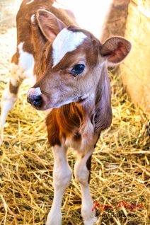 Browniethe calf got lots of attention during the tour also.