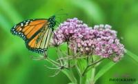 Butterfly romance on milkweed in the prairie