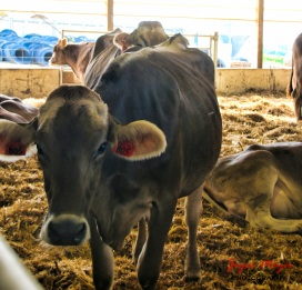 Cows in the special needs barn