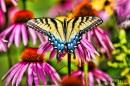 liteEastern tiger swallowtail