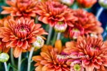 mums come in all colors
