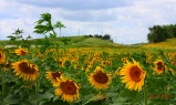 Organic Sunflower field by Decorah