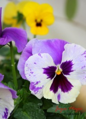 planter pansys