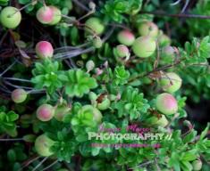 ripening cranberries
