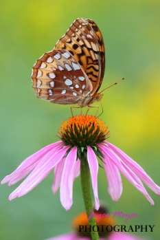this issue Inspire(d) Great Spangled fritillary