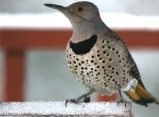 yellow shapfted Northern flicker usually doesn't come to feeders
