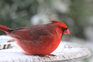waiting for tea service at the patio table is a male cardinal
