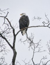 Decorah eagle weathers out the stormIMG_4479-1
