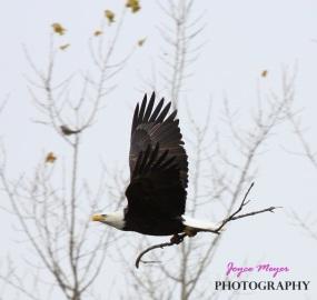 IMG_7758Decorah eagle with stick by Joyce Meyer